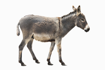 Foto op Canvas Ezel donkey isolated a on white