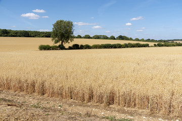 Barley growing on a Hampshire farm near Micheldever, Hants, England UK around harvest time.