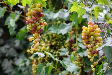 White grapes hanging on a bush in a sunny