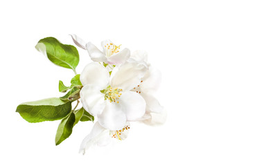 Beautiful flowers isolated on white background.  Floral wallpaper.