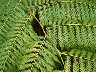 Close up detail of fronds on a Tasmanian Tree Fern(Dicksonia antarctica), also known as soft tree fern and man fern