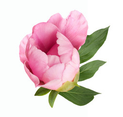 terry pink peony flower bud isolated