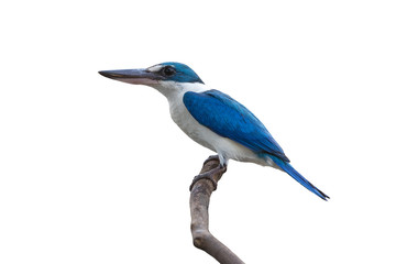 White-collared kingfisher isolated on white background,Blue and white bird Wall mural