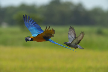 Blue and gold macaw flying on green background