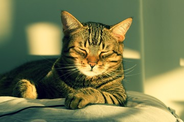 A tabby cat lying on a pillow.Cute pet - domestic  cat lying on a pillow.