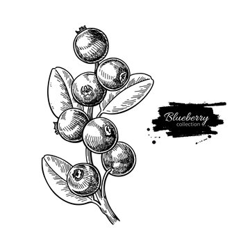 Blueberry vector drawing. Isolated berry branch sketch on white