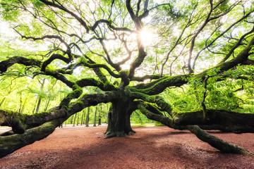 Sun rise at Angel Oak Tree in South Carolina