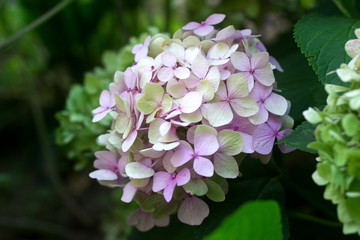 Branches of hydrangeas with blue and pink flowers.