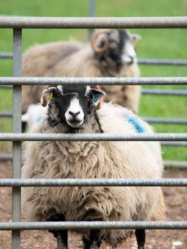 Sheep behind fence
