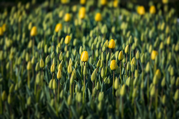 Flowers of yellow tulips on the flowerbed of the city of Istanbul