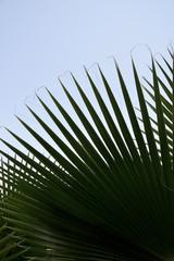 palmiye yaprakları