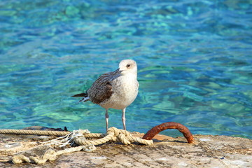 Seagull on the Adriatic sea coast, Croatia