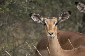 Impala adult