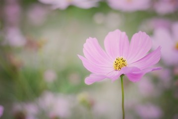 Wall Mural - pink cosmos flower blooming in the field
