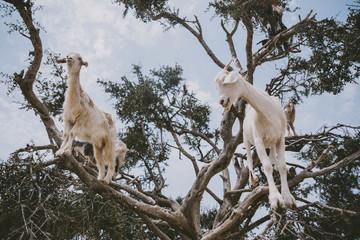 Goats climbing tree