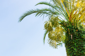 Green young Dates on a palm tree against blue sky. close up