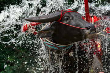 closed up of water splashing and buffalo face reaction