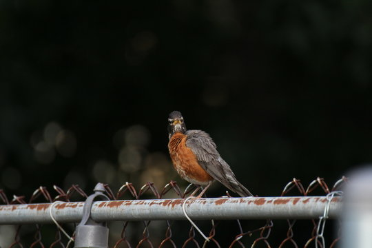 A Robin On A Rusty Fence 2