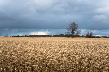 Stormy Clouds Looming over a Corn Field in the Countryside of Ontario, Cnada, on a Windy Autumn Day