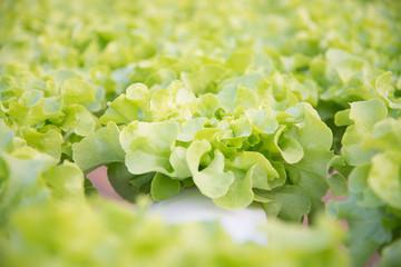 Fresh hydroponic vegetables