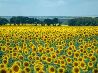 large field of sunflowers with far bush and green trees at summer. Rural landscape. Yellow agricultural field blooming under a grey cloudy sky. Blurred background. Soft selective focus