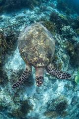 Swimming Hawksbill Sea Turtle