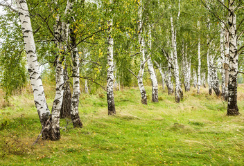 Birch forest. White birch trees stand in the field on the green grass. Late summer.