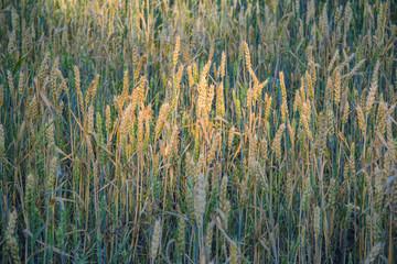 Ripe ears of rye lit by the morning sunlight