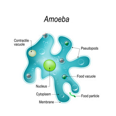Structure of an amoeba proteus
