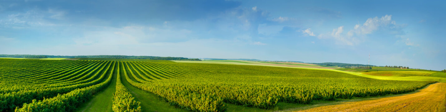 panoramica view ofcolorful fields and rows of currant bush seedlings as a background composition