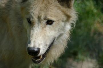 wolf, wildlife, nature