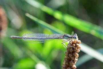 female of white-legged damselfly or blue featherleg (Platycnemis pennipes)