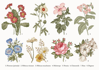 Fototapeta Botany. Set vintage realistic isolated flowers. Nature. Drawing engraving. Vector victorian Illustration. Primrose, Hibiscus, Heliotrope, Petunia, Chamomile, Rose, Dogrose. obraz