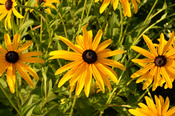 Bright flowers of rudbeckia on a green background. Long narrow yellow petals, black shining midpoints. Flowers in the form of a camomile.