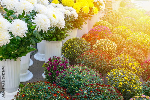 Varietal Chrysanthemums In A Flower Shop White Yellow Red And