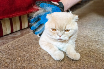 A man's hand in grooming rubber blue glove combs fluffy Scottish fold cream cat. Pet owner removing cat hairs with grooming glove. Selective focus