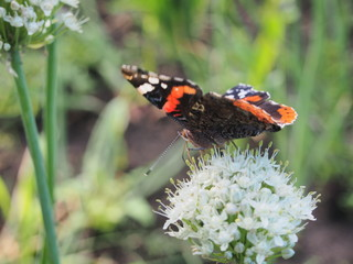 Butterfly drinks nectar from a flower. The wings are black with red, white and yellow spots.