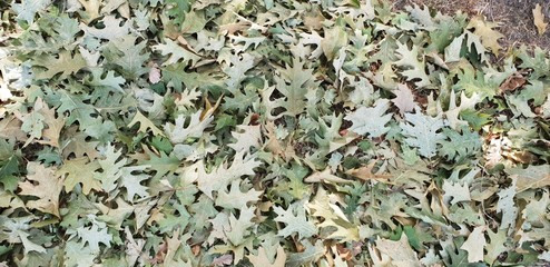green oak leaves falling in summer caused by long dry period in the Netherlands