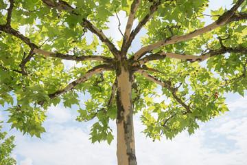 Baumkrone einer Platane, Blick von unten nach oben