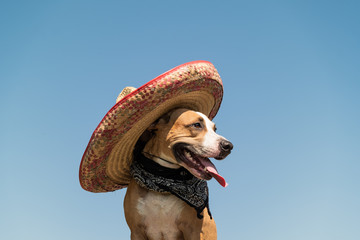 Beautiful dog in mexican hat as a western style bandit of gangster. Cute funny staffordshire terrier dressed up in sombrero hat as mexico festive symbol or for halloween