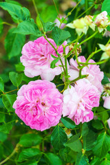 Pink flowers of bush rose with foliage