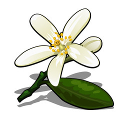 Single flower of lemon tree isolated on a white background. Flowering tree branches in the orchard. Vector cartoon close-up illustration.