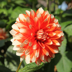 Dahlia décoratif orange