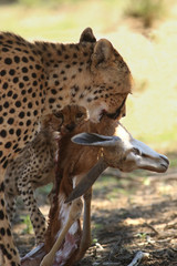 Female and kitty of cheetah (Acinonyx jubatus) are eating young springbok (Antidorcas marsupialis), mother holding the head of antelope and small cheetah want more meat