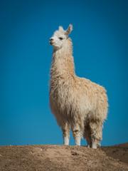 Papiers peints Lama Llama 6