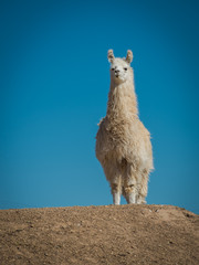 Fotorolgordijn Lama Llama 8