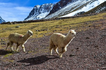 Running Alpacas
