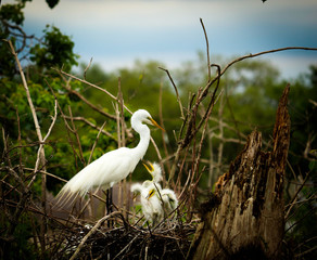 Nesting Great White Egret with Baby Birds / Florida Swamp Bird