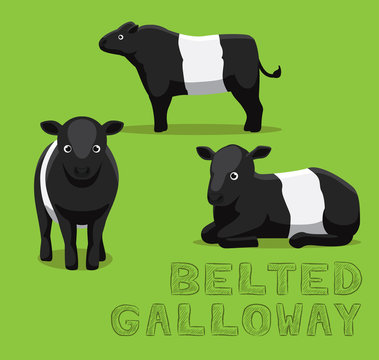 Cow Belted Galloway Cartoon Vector Illustration
