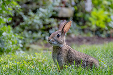 Small young Eastern Cottontail rabbit, Sylvilagus Floridanus, enjoys a snack in beautiful garden and lush green grass on a summer afternoon